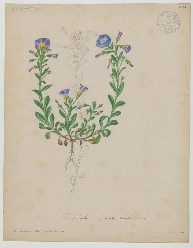 BARLA Jean-Baptiste (attribué à) : Liseron Belle de jour, plante à fleurs