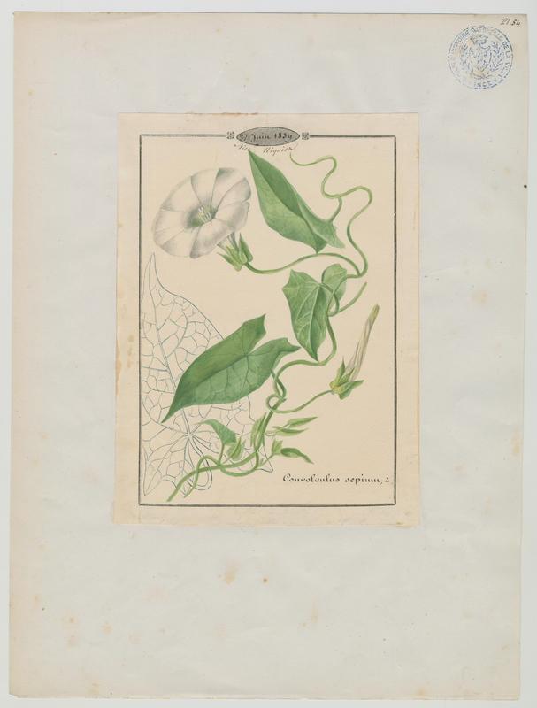Calystegia ; plante à fleurs_0
