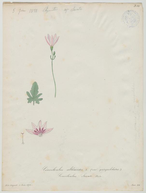 BARLA Jean-Baptiste (attribué à) : Fausse Guimauve, Fausse mauve, Liseron de Provence, plante à fleurs