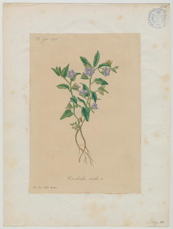 Liseron de Sicile ; plante à fleurs_0