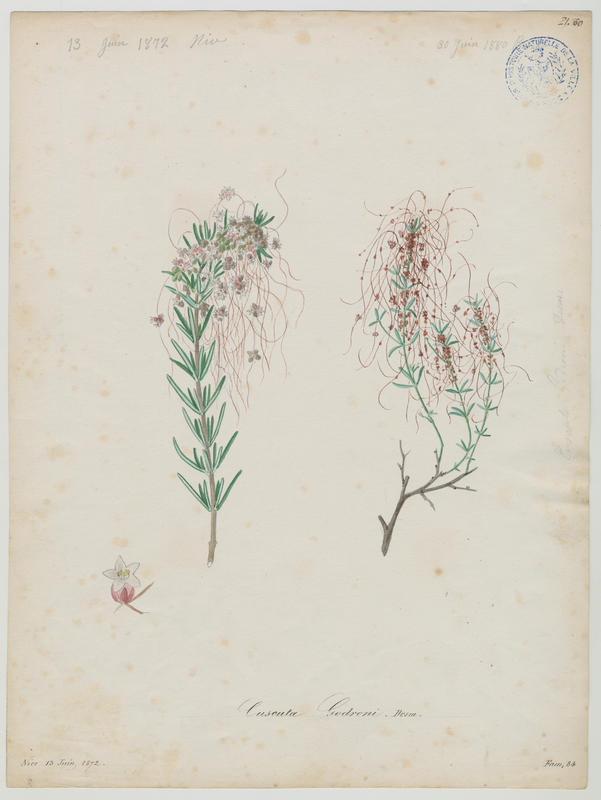 BARLA Jean-Baptiste (attribué à) : Cuscute, plante à fleurs