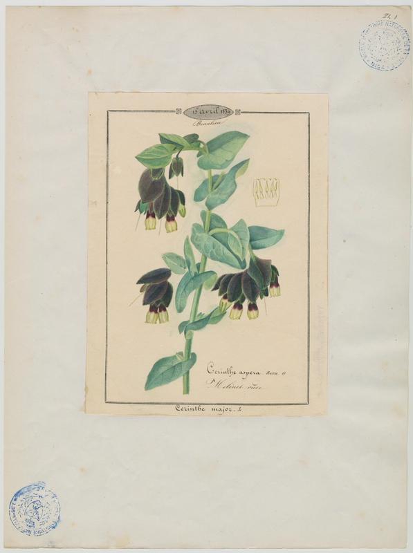 BARLA Jean-Baptiste (attribué à) : Melinet rude, plante à fleurs