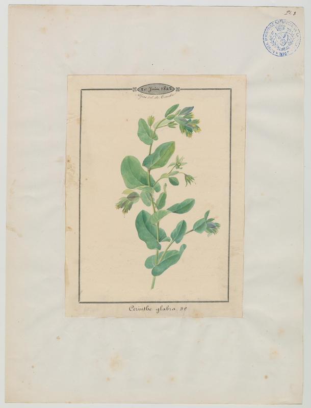 Mélinet des Alpes ; Mélinet glabre ; Cérinthe des Alpes ; plante à fleurs_0