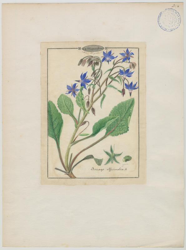 BARLA Jean-Baptiste (attribué à) : Bourrache, plante à fleurs