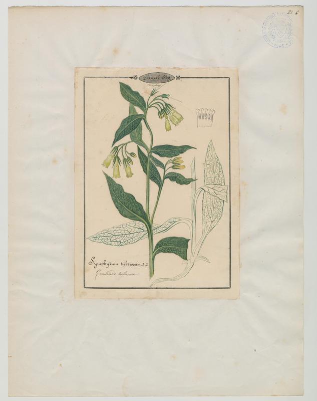 BARLA Jean-Baptiste (attribué à) : Consoude tubéreuse, plante à fleurs