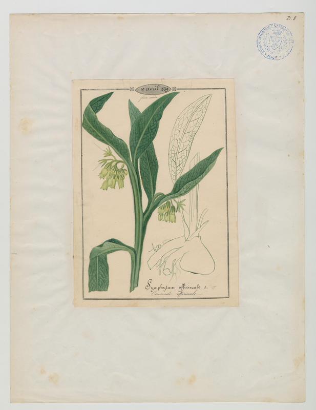 Consoude officinale ; plante à fleurs_0