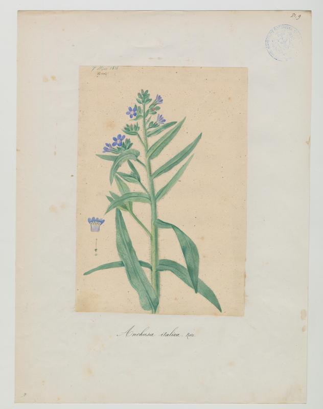 BARLA Jean-Baptiste (attribué à) : Buglosse d'Italie, Buglosse azurée, plante à fleurs