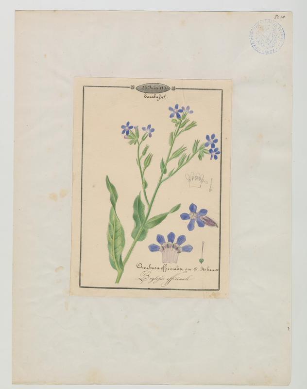 Buglosse officinale ; plante à fleurs_0
