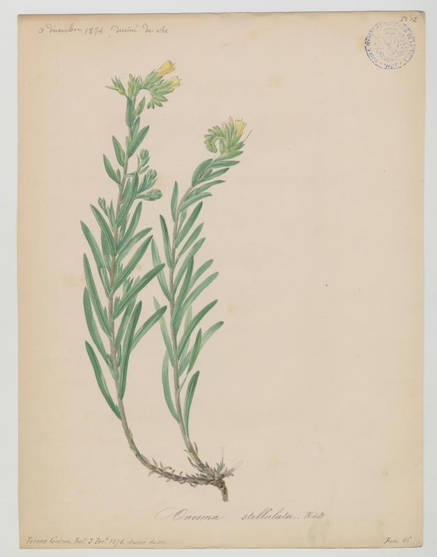 BARLA Jean-Baptiste (attribué à) : Vérone, plante à fleurs