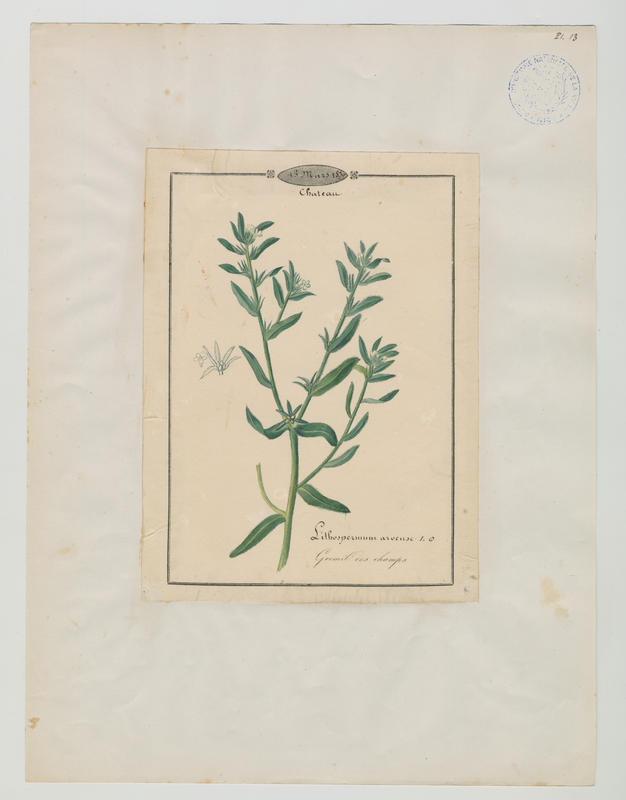 BARLA Jean-Baptiste (attribué à) : Gremil des champs, plante à fleurs