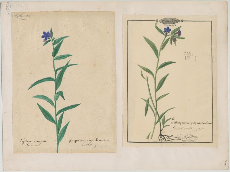 BARLA Jean-Baptiste (attribué à) : Grémil violet, plante à fleurs