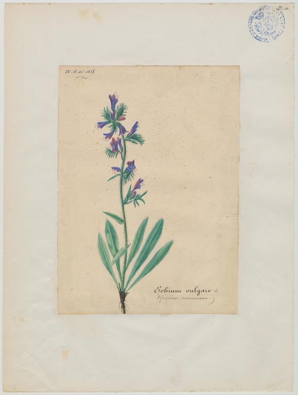 BARLA Jean-Baptiste (attribué à) : Vipérine commun, plante à fleurs
