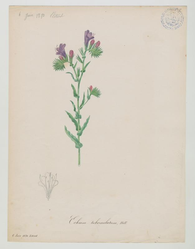 Vipérine ; plante à fleurs_0