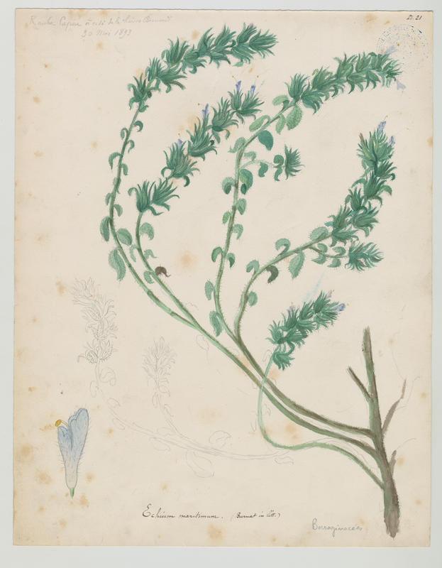 BARLA Jean-Baptiste (attribué à) : Vipérine à feuilles de plantain, plante à fleurs