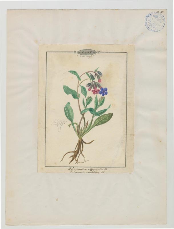 BARLA Jean-Baptiste (attribué à) : Pulmonaire officinale, plante à fleurs