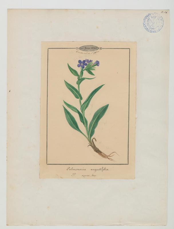 BARLA Jean-Baptiste (attribué à) : Pulmonaire à feuilles étroites, plante à fleurs