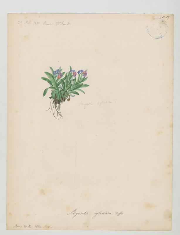 Myosotis des bois ; plante à fleurs_0