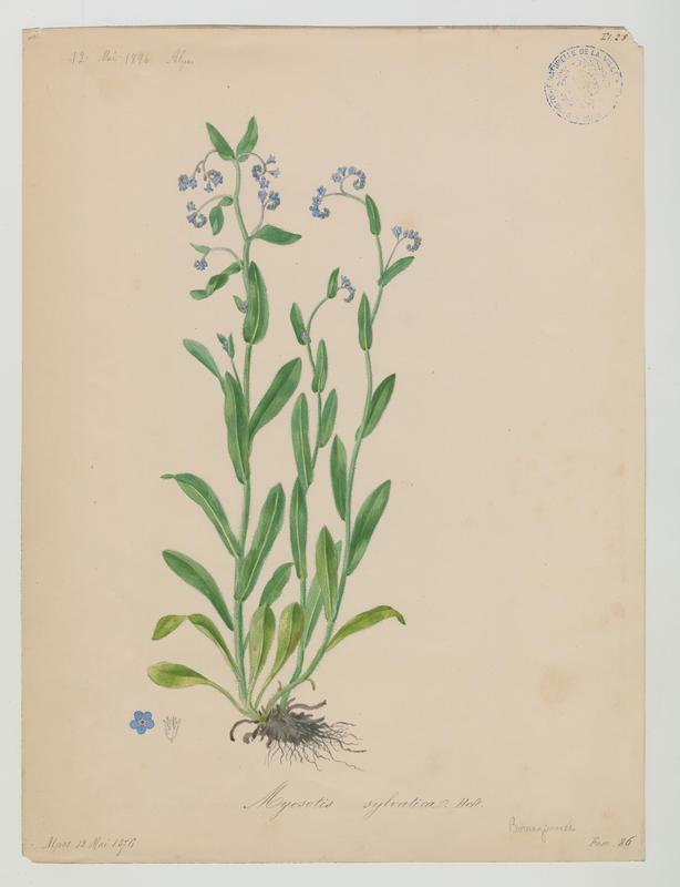 BARLA Jean-Baptiste (attribué à) : Myosotis des bois, plante à fleurs