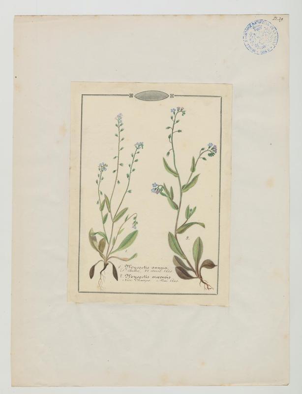Myosotis des champs ; plante à fleurs_0