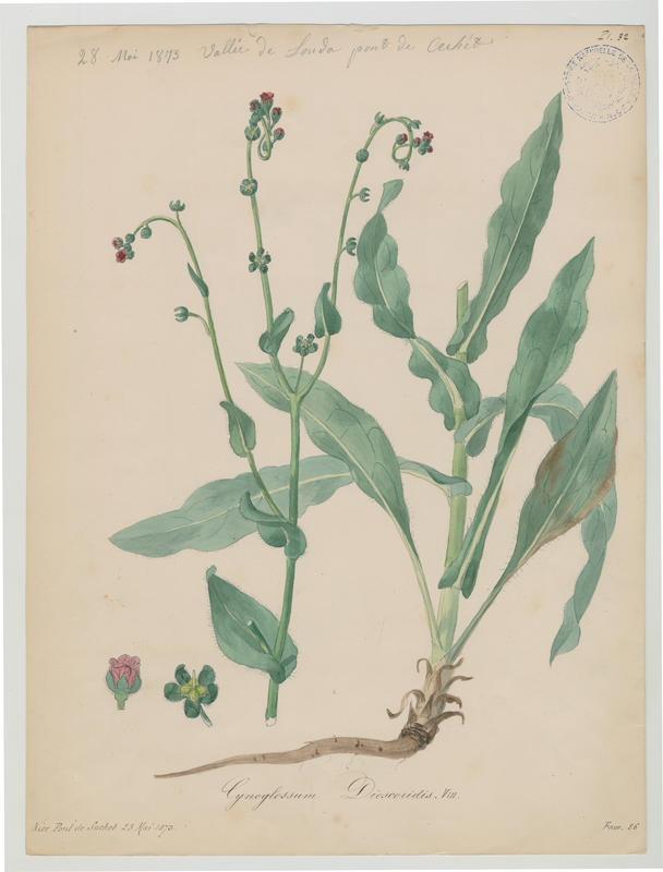 BARLA Jean-Baptiste (attribué à) : Cynoglosse de Dioscoride, plante à fleurs