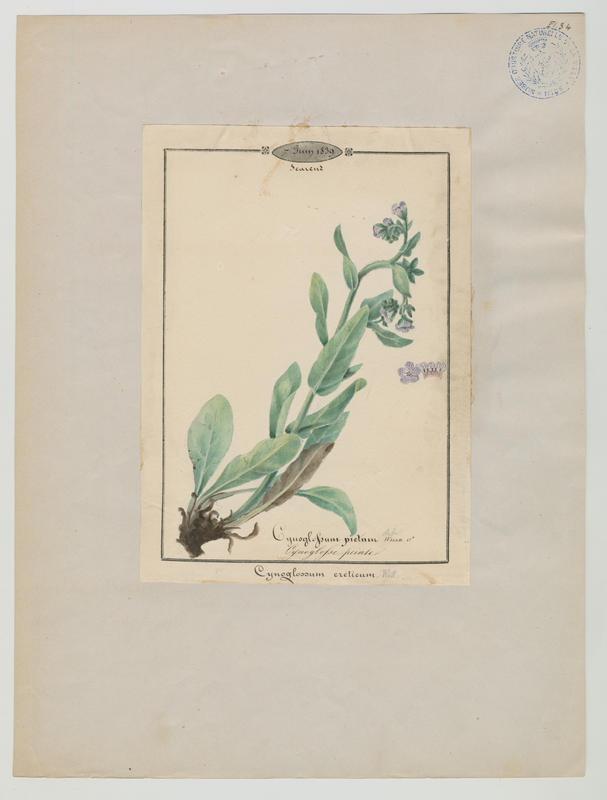 BARLA Jean-Baptiste (attribué à) : Cynoglosse peinte, plante à fleurs
