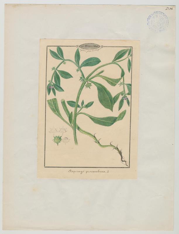 BARLA Jean-Baptiste (attribué à) : Râpette , Râpette couchée, plante à fleurs