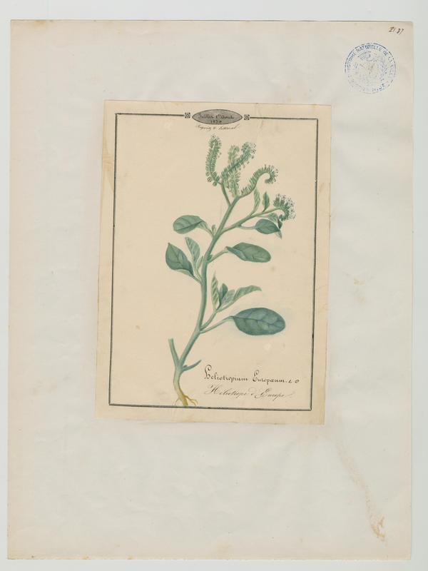 BARLA Jean-Baptiste (attribué à) : Héliotrope d'Europe, plante à fleurs