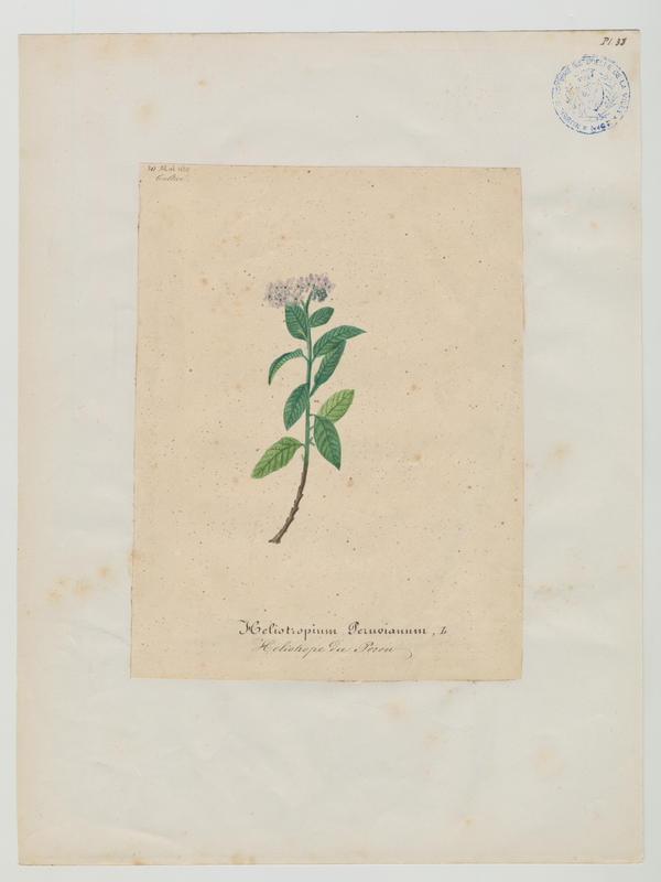 Héliotrope du Pérou ; plante à fleurs_0