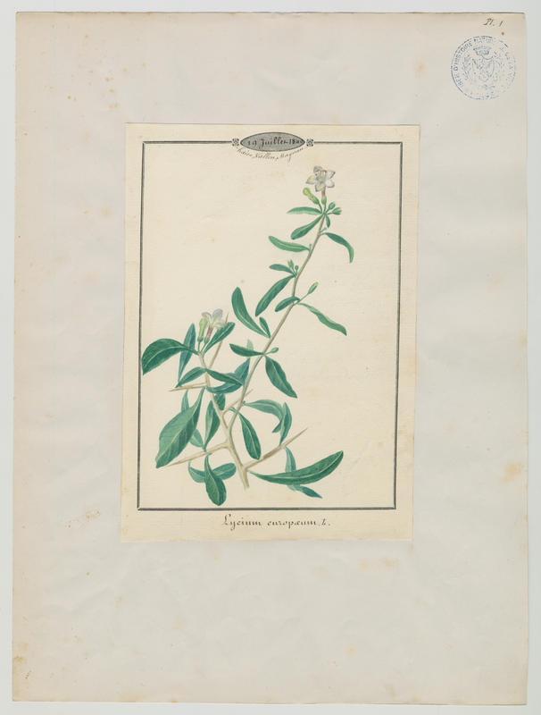 BARLA Jean-Baptiste (attribué à) : Lyciet d'Europe, plante à fleurs