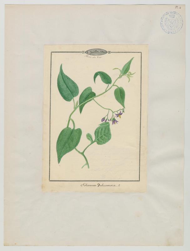 BARLA Jean-Baptiste (attribué à) : Douce-amère, Morelle douce-amère, plante à fleurs