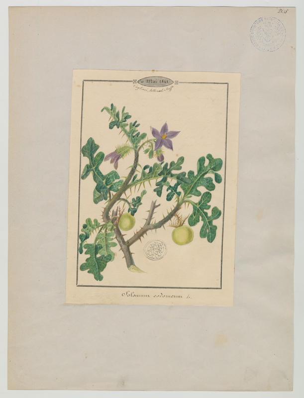 BARLA Jean-Baptiste (attribué à) : Morelle de Linné, plante à fleurs