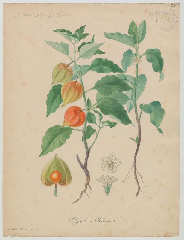 BARLA Jean-Baptiste (attribué à) : Alkékenge, Coqueret alkékenge, Lanterne, Amour en cage, plante à fleurs