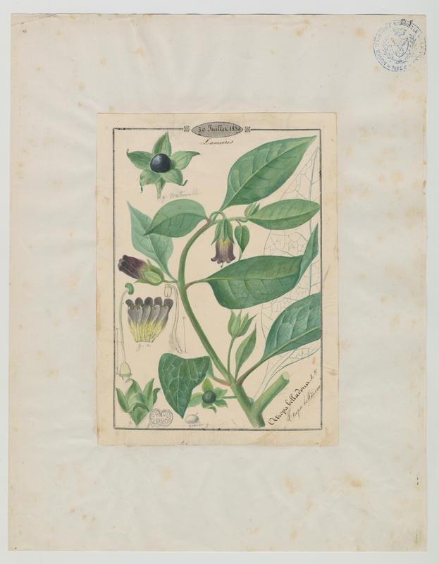 BARLA Jean-Baptiste (attribué à) : Atropa belladonne, plante à fleurs
