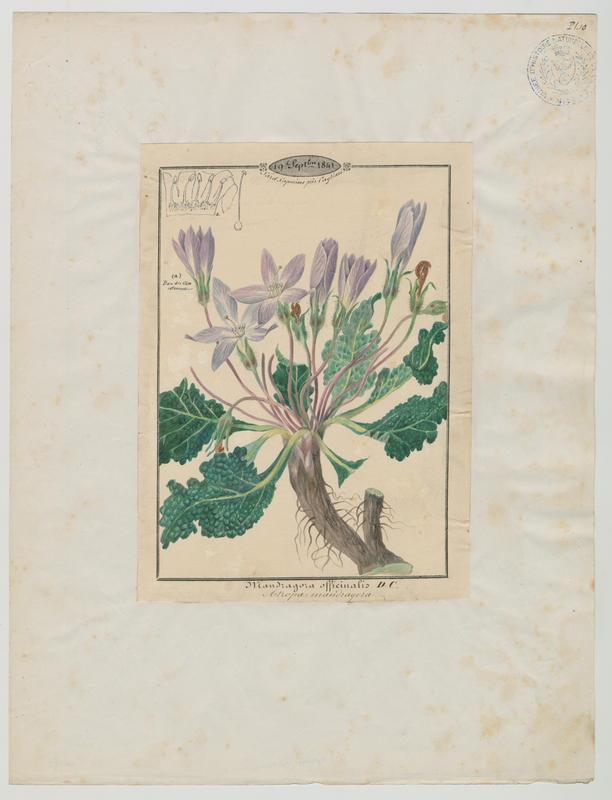 Mandragore ; plante à fleurs_0