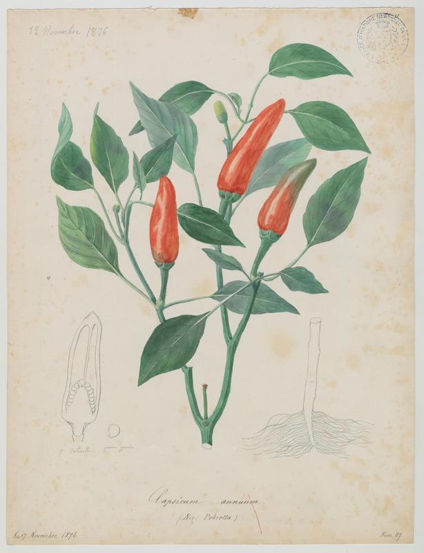 BARLA Jean-Baptiste (attribué à) : Pebretta, Piment,  plante à fleurs