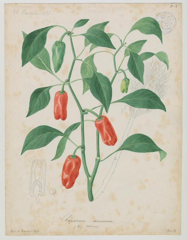 BARLA Jean-Baptiste (attribué à) : Pebroun, Piment, plante à fleurs