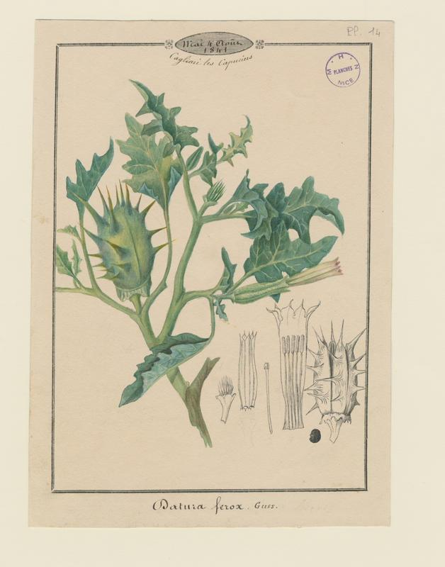 Datura ; plante à fleurs_0