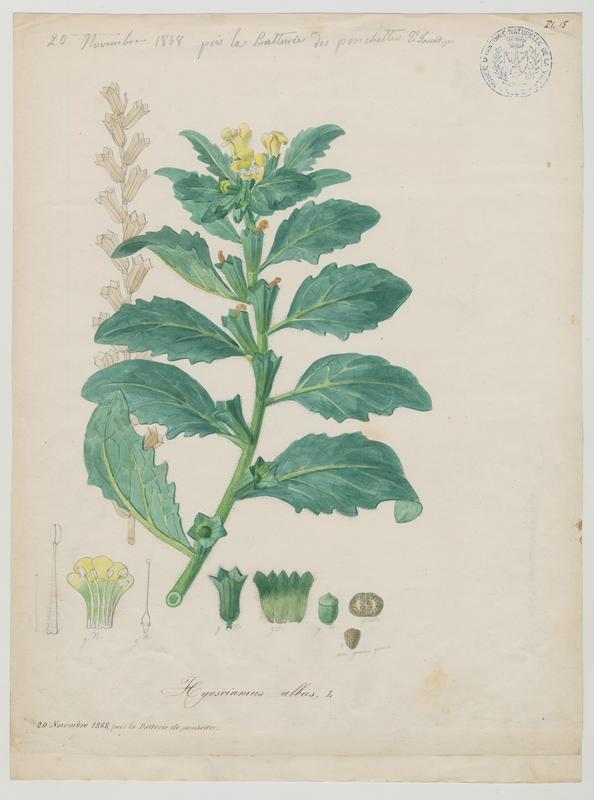 Jusquiame blanche ; plante à fleurs_0