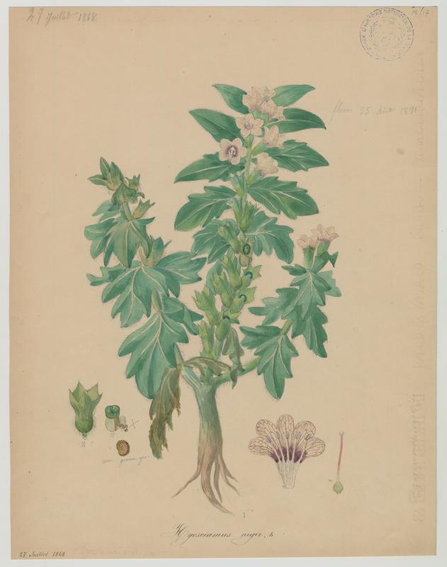BARLA Jean-Baptiste (attribué à) : Jusquiame noire, plante à fleurs