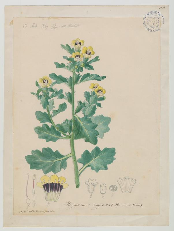 BARLA Jean-Baptiste (attribué à) : Jusquiame blanche, plante à fleurs
