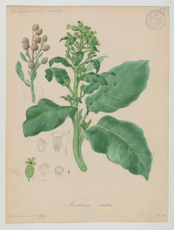 BARLA Jean-Baptiste (attribué à) : Petit Tabac, plante à fleurs