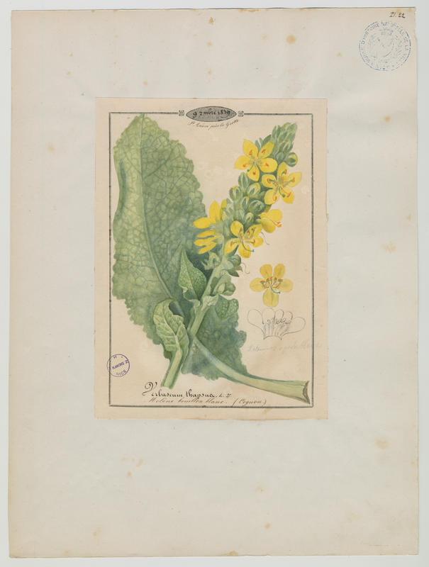 BARLA Jean-Baptiste (attribué à) : Molène bouillon-blanc, plante à fleurs