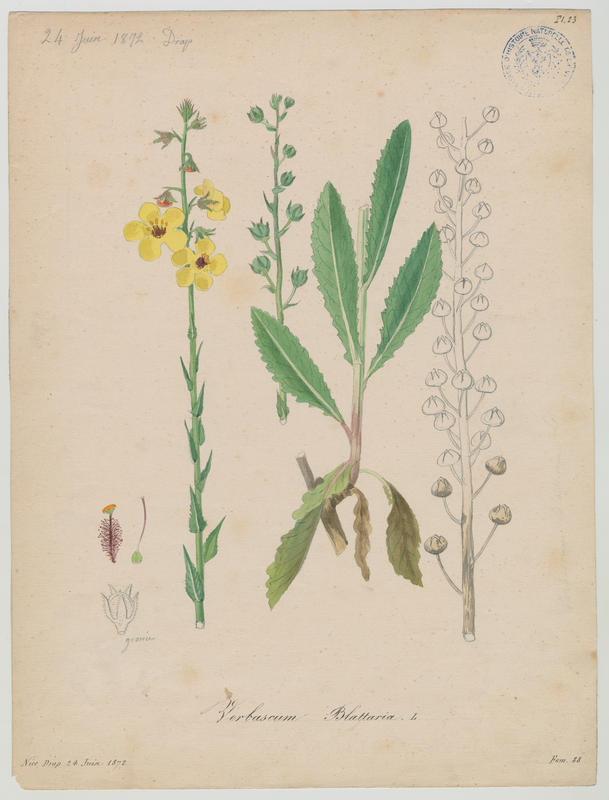 Molène blattaire ; Herbe aux mites ; plante à fleurs_0