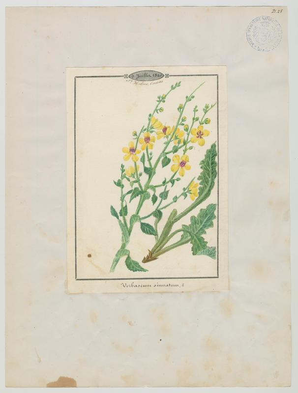 Molène sinuée ; plante à fleurs_0