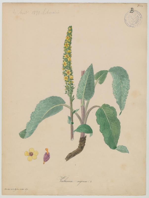 BARLA Jean-Baptiste (attribué à) : Molène noire, Cierge maudit, Bouillon noir, plante à fleurs