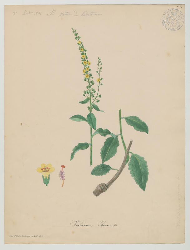 BARLA Jean-Baptiste (attribué à) : Molène de Chaix, plante à fleurs