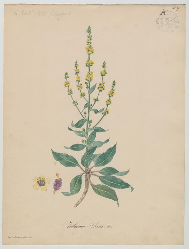Molène de Chaix ; plante à fleurs_0