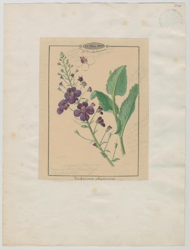 BARLA Jean-Baptiste (attribué à) : Molène de Phénicie, plante à fleurs