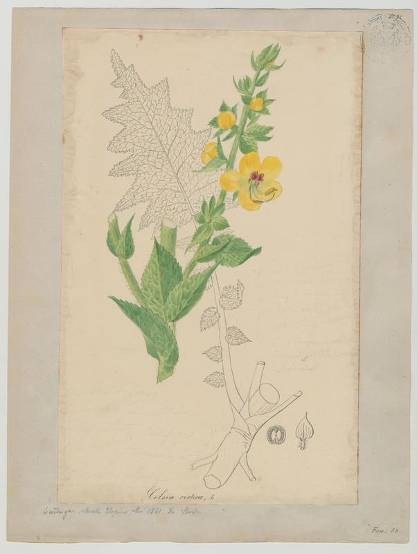 Molène de Crète ; plante à fleurs_0