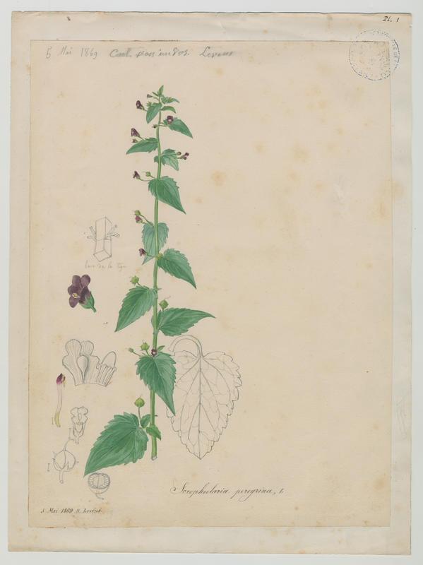 BARLA Jean-Baptiste (attribué à) : Scrofulaire voyageuse, plante à fleurs